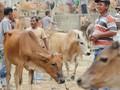 Kewajiban Impor Sapi Indukan Solusi Atas Impor Daging Sapi