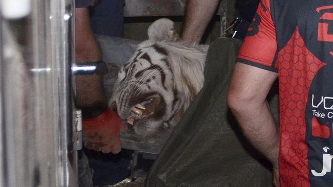 Lepas dari Kebun Binatang Saat Banjir, Harimau Dibunuh