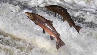 Peneliti Komentari Fenomena Ikan Berloncatan ke Pesisir NTT