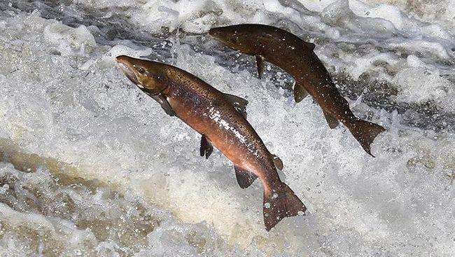 Salmon yang Anda Santap Mungkin Alami Depresi