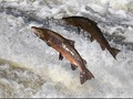 175 Ribu Salmon 'Tak Sengaja Mati' Karena Perubahan Suhu Air