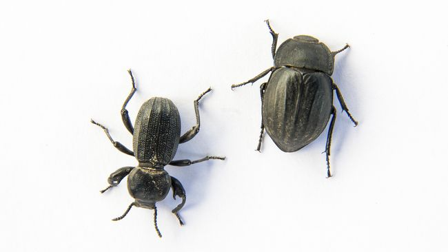Tiga Spesies Kumbang Baru Dinamai Karakter 'Game of Thrones'