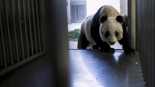 Seekor Panda Tua Incar Rekor Dunia