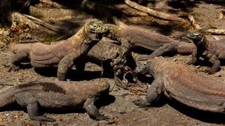 Taman Komodo Terbakar 10 Hektare Savana Hangus