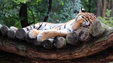 Ahli Ungkap Penyebab Harimau Batuk Kering dan Positif Corona