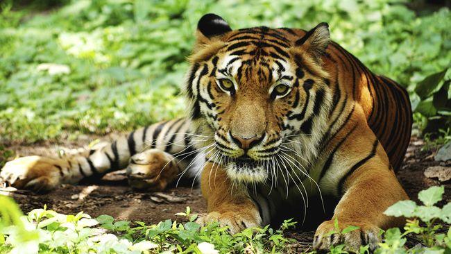 5400 Gambar Ilustrasi Hewan Harimau Gratis Terbaik