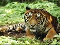 Pegawai Kebun Binatang Tewas Diterkam Harimau Sumatra