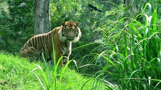 Melacak Jejak Kebangkitan Harimau di Nepal