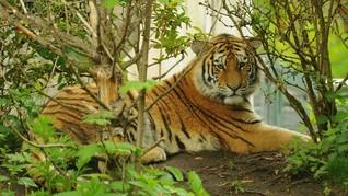 Kisah Harimau Siberia yang Sakit Gigi dan Minta Tolong Warga