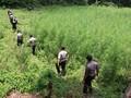 Temukan Hutan Ganja Terbesar, Polda Aceh Tak Punya Helikopter