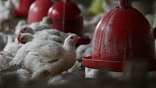 Corona Tekan Permintaan, Peternak Ayam Rugi Rp2,62 M di Bogor