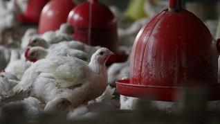 Rugi Rp200 Juta Per Bulan, Peternak Ayam Akan Demo Kementan
