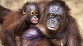Bayi Orangutan Kalimantan Lahir di Paris