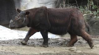 Seekor Badak Sumatera Berhasil Diselamatkan di Kalimantan