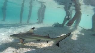 Sea World Ancol Hadirkan Atraksi Penyelam Beri Makan Hiu