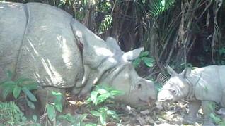 2 Badak Jawa Lahir Gantikan 'Samson' yang Mati di Ujung Kulon