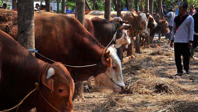 LIPI: Urine Sapi Tak Cocok Jadi Hand Sanitizer Tangkal Corona