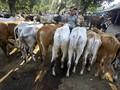 Pemerintah Bebaskan PPN Ternak Impor