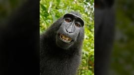 Di Balik Foto Selfie Monyet Sulawesi yang Gegerkan Dunia