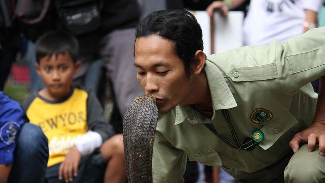 10 Fakta King Kobra yang Tewaskan Pemuda di Depok
