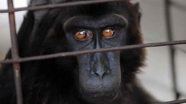 Bareskrim Tangkap Pedagang Online Monyet Yaki