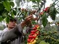 Tantangan Indonesia Menjadi Produsen Kopi Terbesar di Dunia