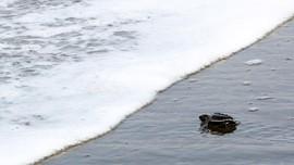 Ratusan Penyu Ditemukan Tewas di Pantai Meksiko