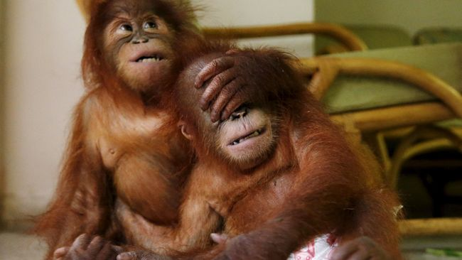 Seperempat Abad Menyelamatkan Ribuan Orangutan