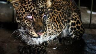 Bayi Macan Tutul Asal Afrika Mati di Riau Karena Virus