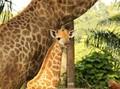 Ada 'Bayi Jangkung' di Kebun Binatang Singapura