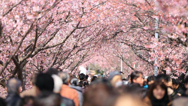 Perkiraan Musim Mekar Sakura di Jepang Tahun Ini