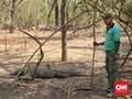 Komodo dan Legenda Si Gerong