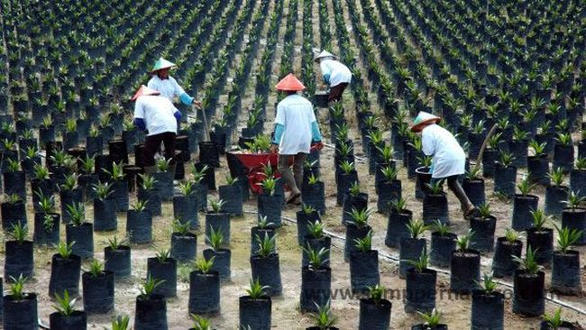 Maret 2017, Komite Verifikasi Dana Replanting Mulai Bekerja
