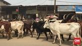 Di jalan raya Douala-Limbe, jalan raya yang berlubang dan macet juga diperparah dengan rombongan sapi bertanduk panjang dan berpunuk yang disebut zebu. Rombongan sapi dan penggembalanya tak menyeberang jalan raya yang penuh mobil. (Foto: CNN Indonesia/Christina Andhika Setyanti)