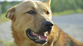 Anjing Terakhir Pencari Korban 11 September Meninggal Dunia