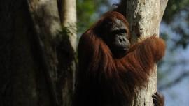Si Pongo Endemik dari Hutan Kalimantan dan Sumatera