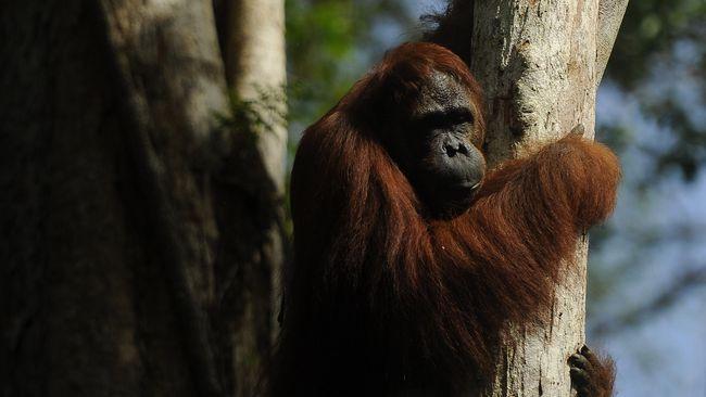 Populasi Orangutan Tapanuli Jadi Sorotan Dunia