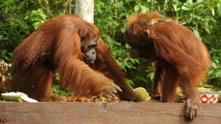 Habitat Orangutan di Batang Toru Terancam Pembangunan PLTA