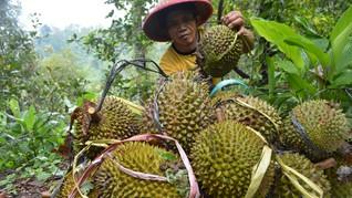 Durian Jadi Tren di China, Ancam Hutan Malaysia