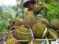 Berakhir Pekan ke Kampung Durian di Banyuwangi