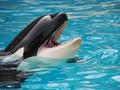 'The Blackfish Effect' Kembali Sentil Pengusik Paus Orca