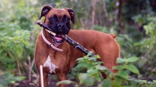 Paris, Si Anjing Inggris Paling Ramah Lingkungan