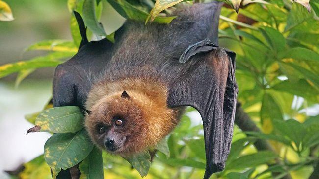 Spesies Kelelawar Lidah Panjang Ditemukan di Kalimantan