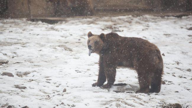 Beruang Vegetarian, 'Mutasi' Alam Karena Perubahan Iklim
