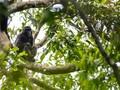 Punahnya Monyet Sulawesi Akibat Perkawinan 'Terlarang'