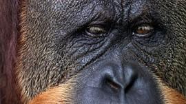 Yang Tersisa dari Matinya 'Puan', Orangutan Tertua Sedunia