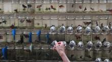 Panen Ratusan Ikan Cupang Alam di Depok
