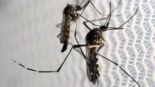 Bakteri dalam Serangga Diklaim Ampuh Turunkan Kasus DBD