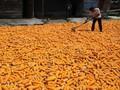 Kementan Tuding Pabrik Pakan Besar Penyebab Harga Jagung Naik