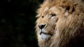 Panjat Tembok Kebun Binatang, Lelaki India Diterkam Singa